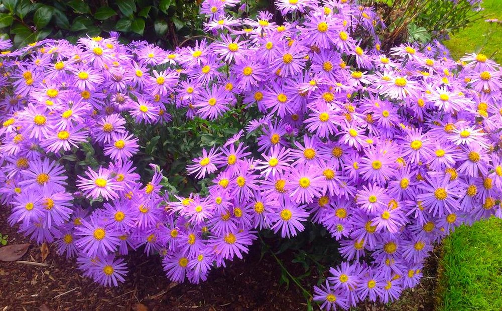 Late Season Blooms Of Asters