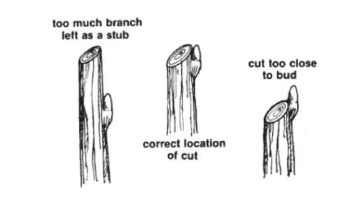 Pruning_branch_bud_correct.jpg