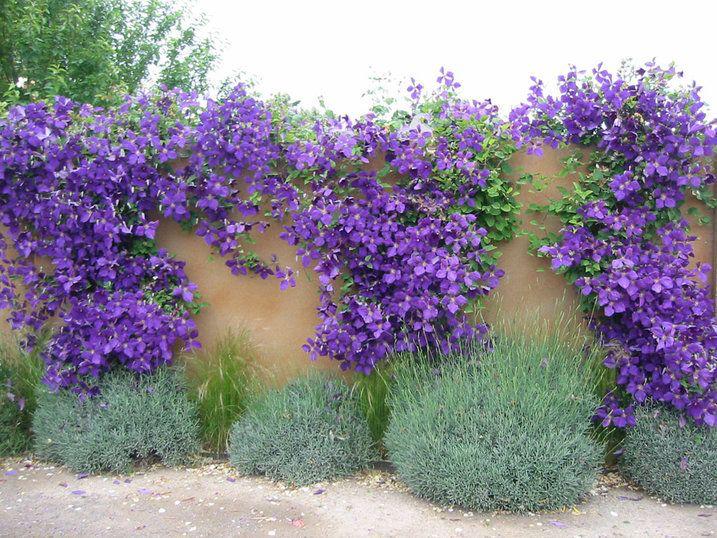 Clematis-purple_wall_lavender.jpg