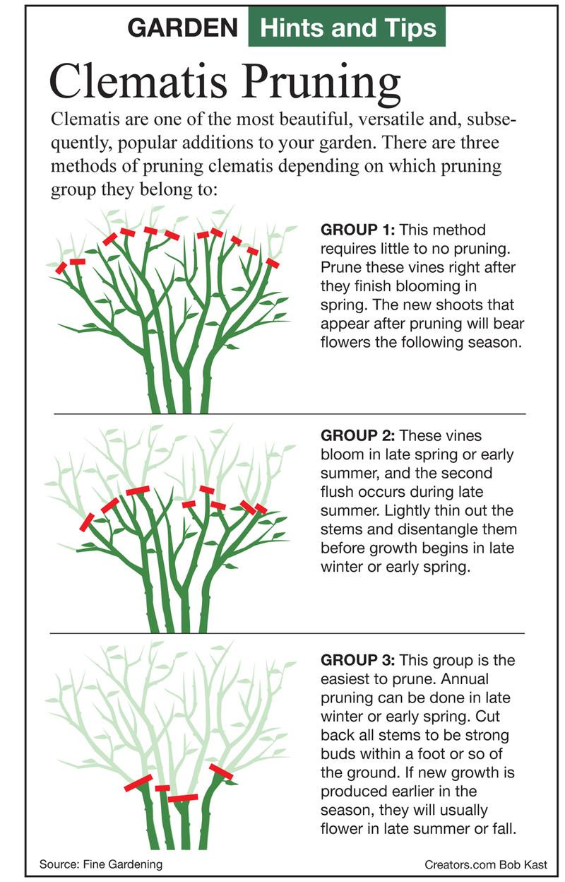 Clematis_Diagram_Pruning_3_Groups_FineGardening.jpg