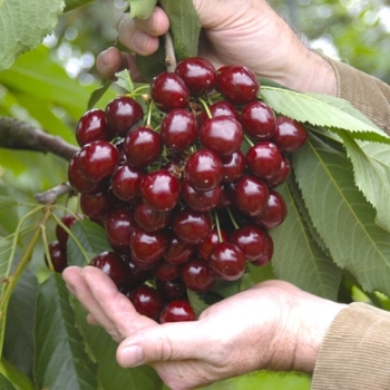 Fruit_tree_cherries_hands_detail.jpg
