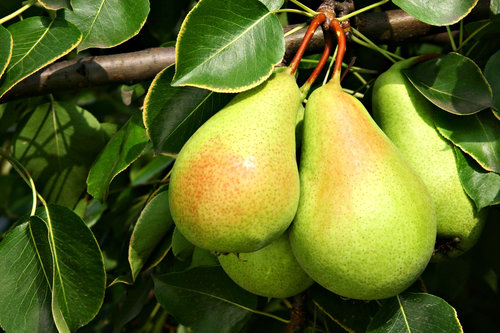Fruit_tree_pears_closeup.jpg