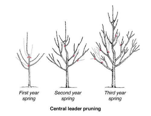 Pruning_diagram_fruit_tree_central-leader-pruning.jpg