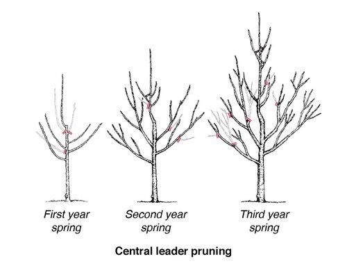 Pruning_diagram_fruit_tree_central-leader-pruning.jpg