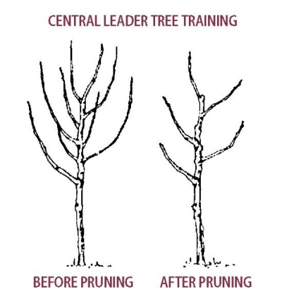 Pruning_diagram_fruit-pear_tree_central-leader-pruning.jpg