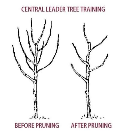 Pruning_diagram_fruit-pear_tree_central-leader-pruning.jpg