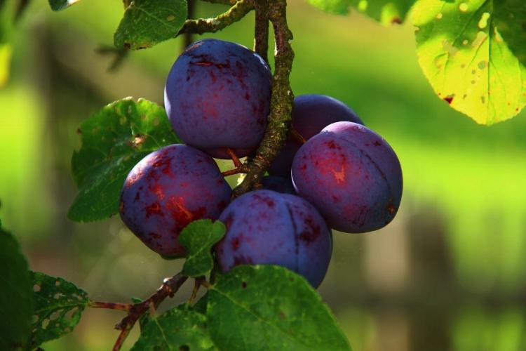 PRUNING FRUIT TREES -