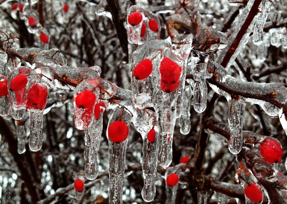 Berries during an ice storm