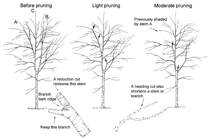 Structural Pruning or Reduction Pruning is reducing the length of a branch or stem back to a live lateral branch large enough to assume the terminal role—this is typically at least one-third the diameter of the cut stem.