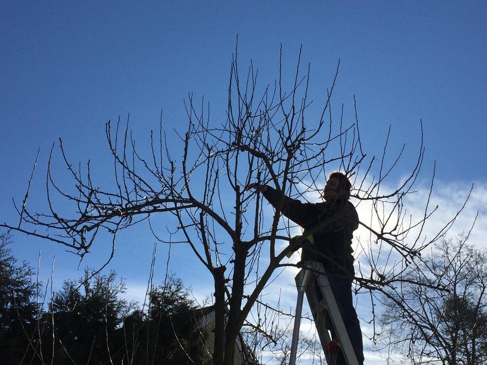 Orchard_Pear_Tree_Winter_Pruning.jpeg