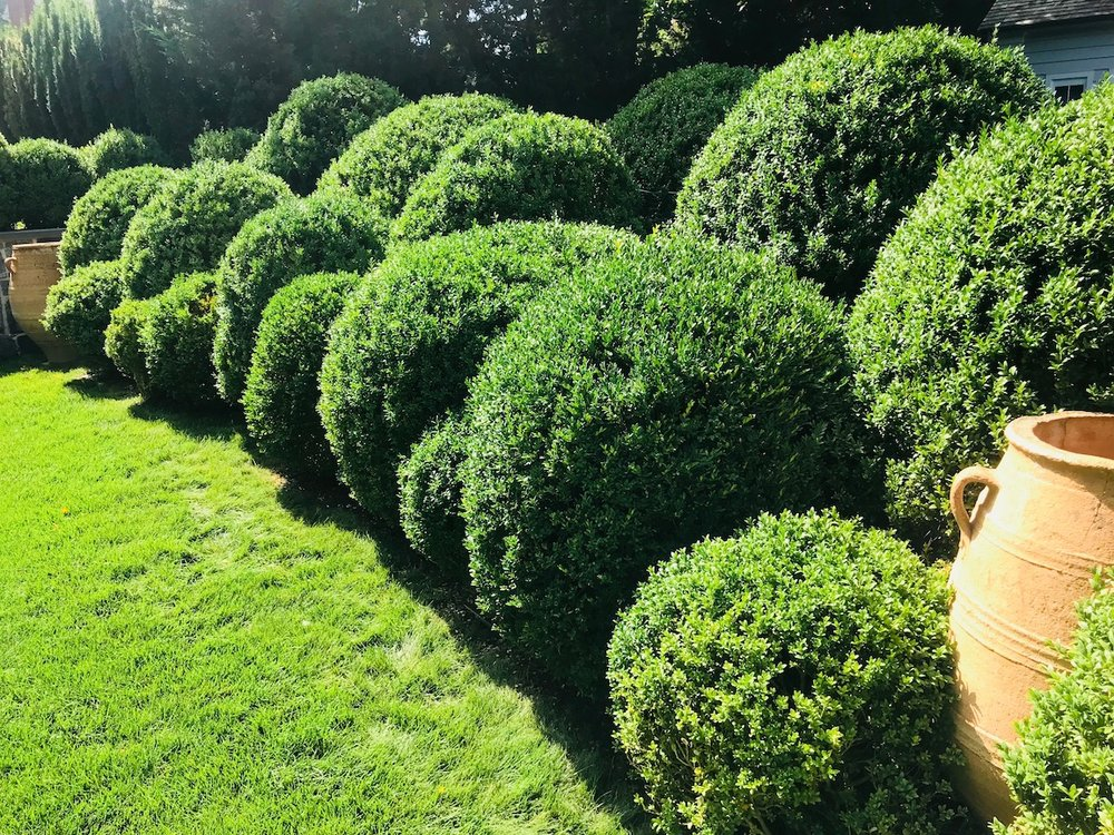 Boxwood_Cloud_Pruning_View_West_Urns.jpeg