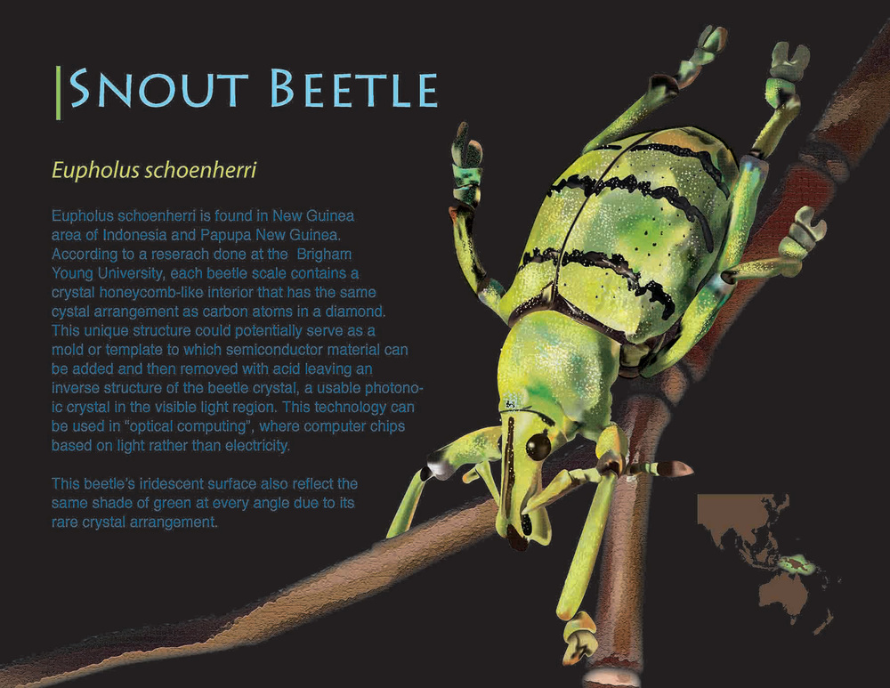 Snout Bettle