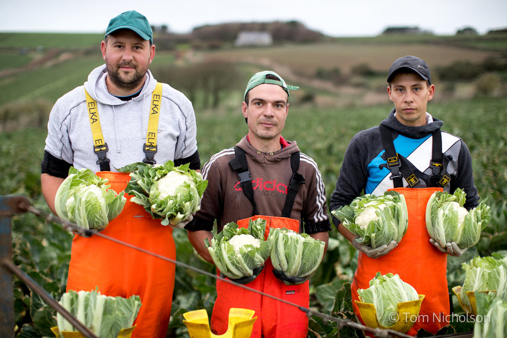 ©2017 Tom Nicholson. 14/11/2017. Marazion, UK. Three Lithuanian migrant workers stand with Cauliflowers picked for Riviera produce in a field overlooking St Michael's Mount, Marazion, Cornwall. Cornwall is one of the only places where cauliflowers can be grown all year round, as the salty air from the sea deters frost. Photographed for PinPep/ASDA.
