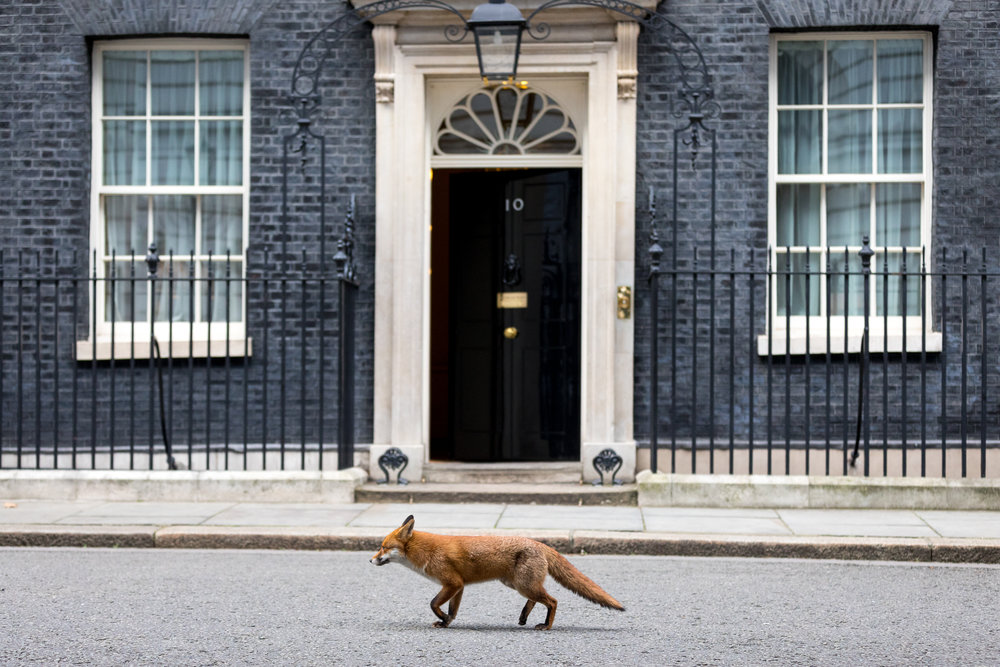 A fox with an injured back leg walks through Downing Street. January 2018 - London, UK.