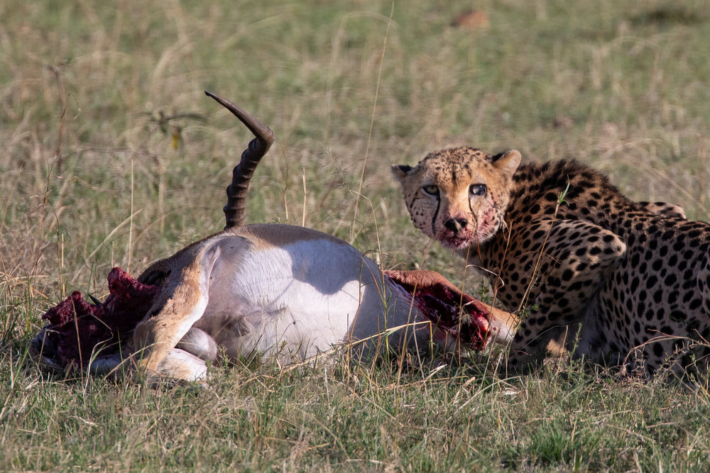 A cheetah eats an impala in Maasai Mara National Park. September 2018 - Maasai Mara, Kenya.