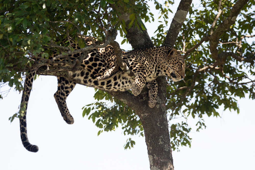 A leopard sits in a tree in Maasai Mara National Park. September 2018 - Maasai Mara, Kenya.