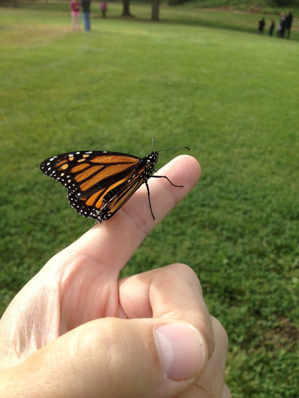 Monarch butterfly, in memory and support of those touched by cancer.  Wings of Hope event.