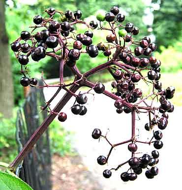 Elderberries.Photo.jpg