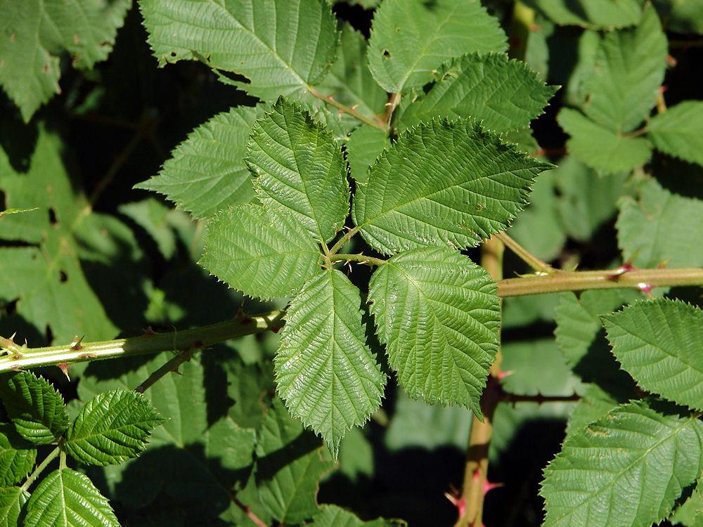 Red Raspberry Leaf.jpg