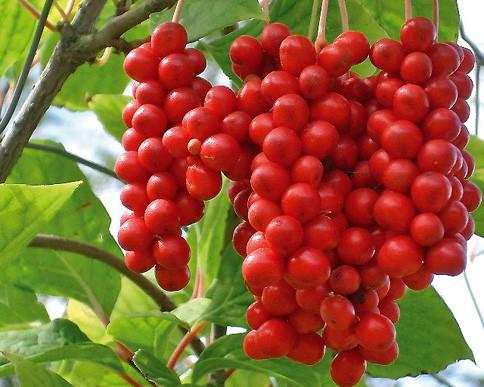 schisandra_berries-schisandra-chinensis.jpeg