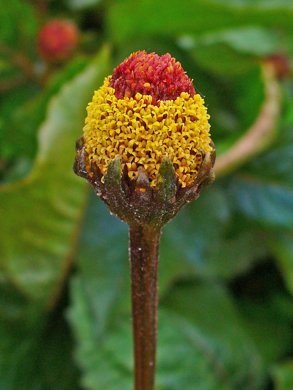 Acmella oleracea.JPG
