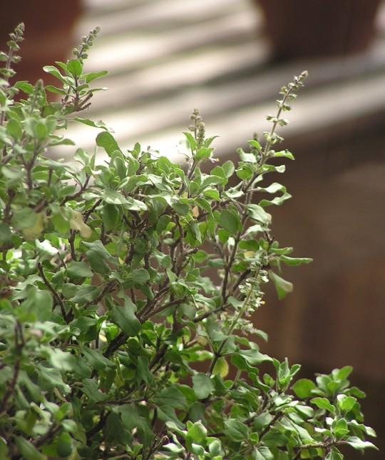 Ocimum sanctum.jpg