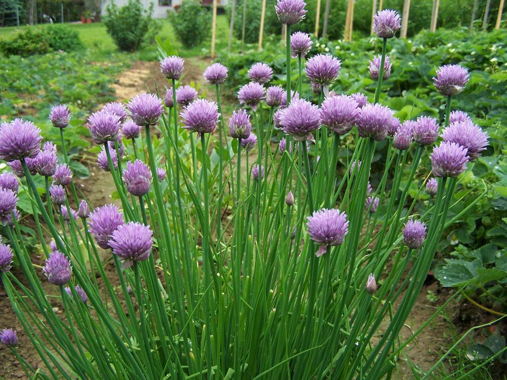 Allium schoenoprasum.jpg