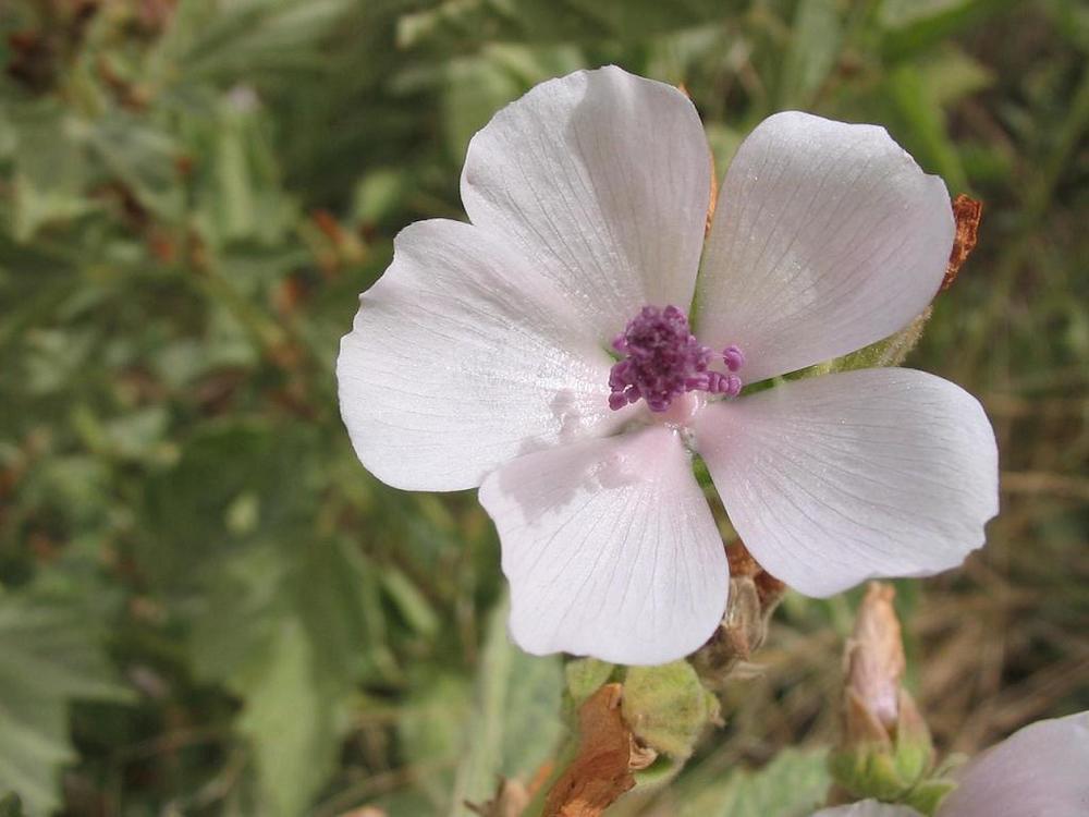 Althea officinalis.jpg