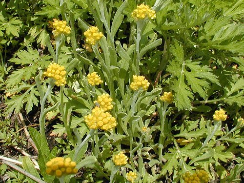 Artemisia princeps2.jpg