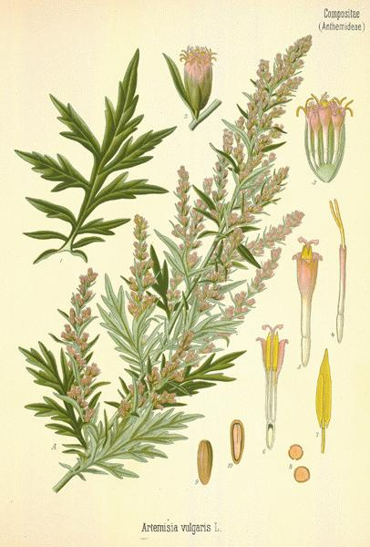 Artemisia vulgaris2.jpg