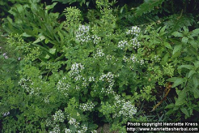 Origanum heracleoticum2.jpg