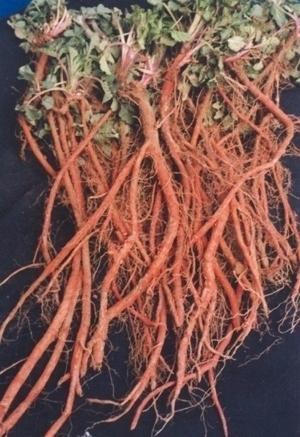 Salvia miltiorrhiza.jpg