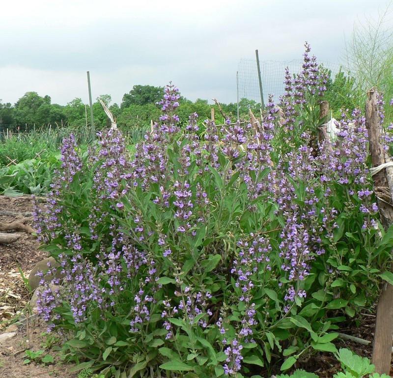 Salvia officinalis2.jpg