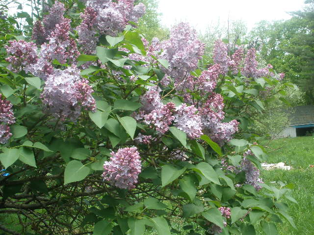 3 - Lilacs.JPG