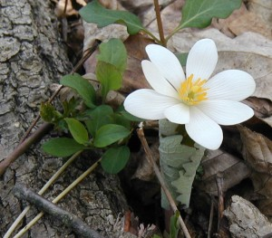 Emerging Bloodroot  (Sanguinaria canadensis)