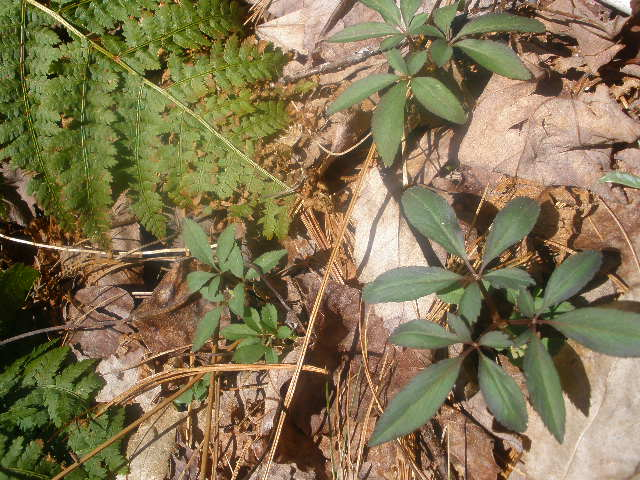 Dwarf Ginseng (P  anax trifolius)