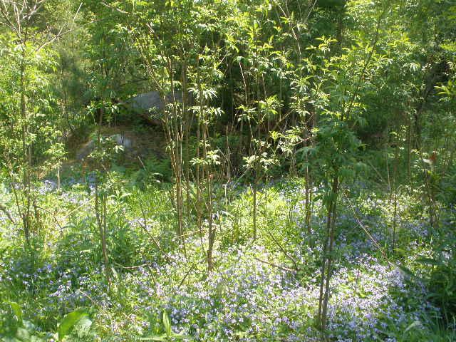 Elder  (Sambucus canadensis) - Blue Violet  (Viola odorata)  Polyculture