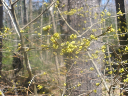 Spicebush  (Lindera benzoin)  in flower