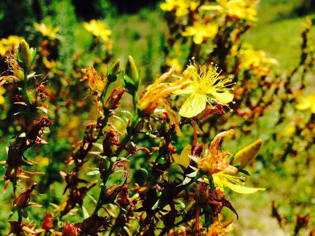 St Johnswort  (Hypericum perforatum)