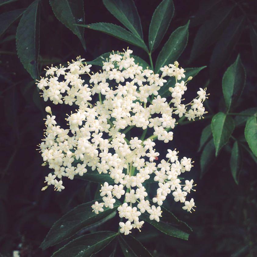 elder flower.jpg
