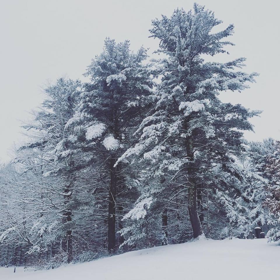 white pine in winter.jpg