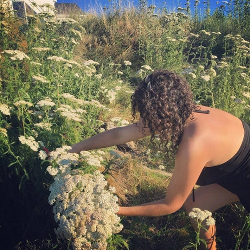 Seaside Yarrow Harvest