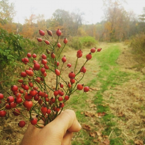 Rose Hip Harvest  (Rosa multiflora)