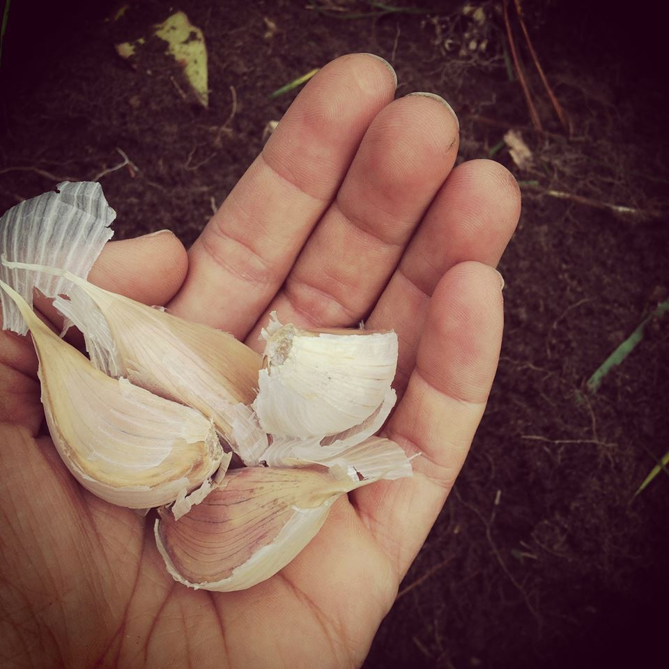 garlic cloves in hand.jpg