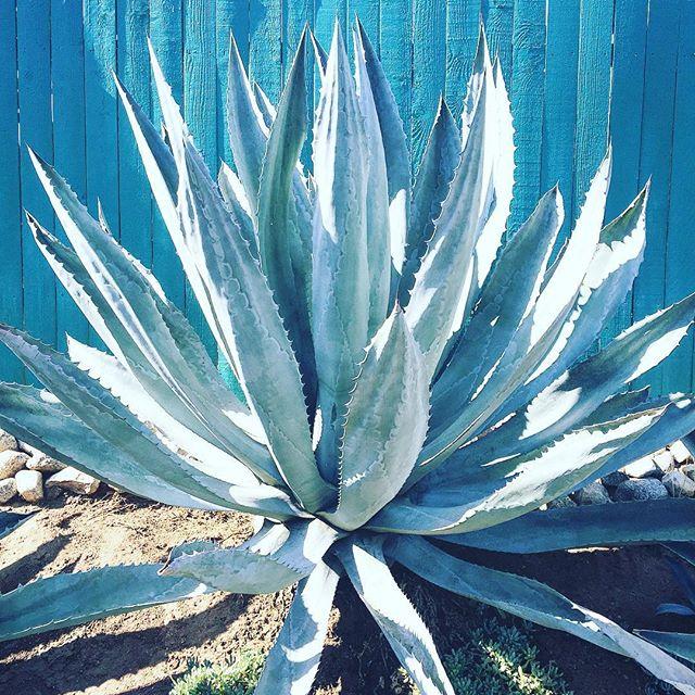 California's gift. #cactus