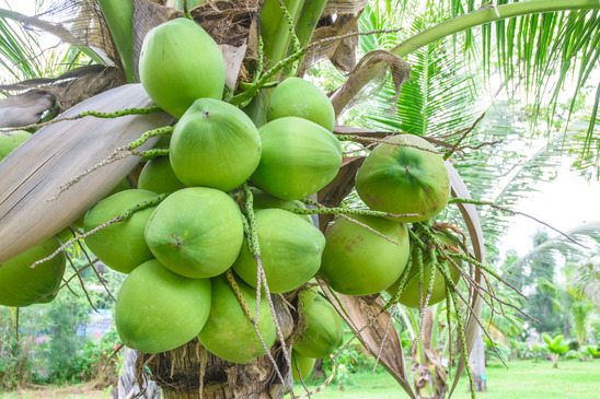 Coconuts are an amazing gift of nature. We find many uses for them in our products!