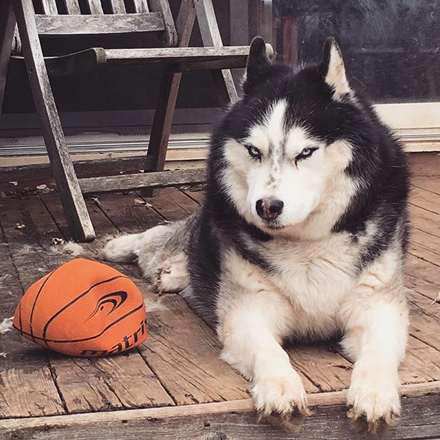 when you're a baller and you know it #nationaldogday #husky
