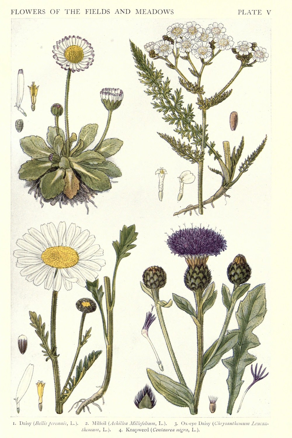 Botanical-New-British-Herbal-Flowers-of-Fields-and-Meadows.jpeg