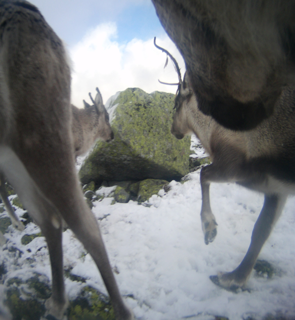 All photos: The wild reindeer Bella/  Olav Strand/NINA  .