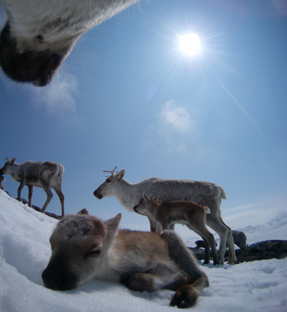 All photos: The wild reindeer Bella/Olav Strand/NINA.